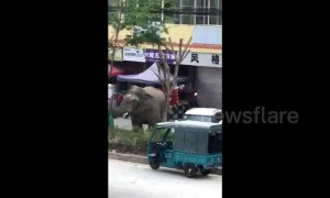 Wild elephant wanders around Chinese town, damaging houses and vehicles