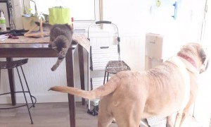 Kitten's attempt to catch dog brother's tail ends in failure