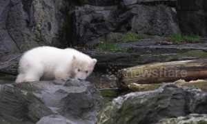 Heartwarming moment polar bear cub takes her very first steps into the outside world