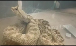Horned pitviper among rare reptiles seized from smuggler's baggage at Indian airport