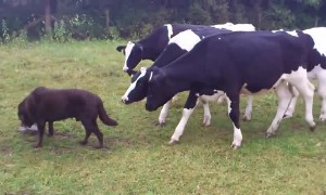 Curious cows become dog's shadow and follow everywhere he goes