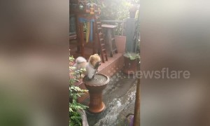 Pomeranian pup insists on dunking face and paws into muddy pool after grooming
