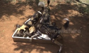 Endangered wild dogs wolf down biscuits at preserve in South Africa