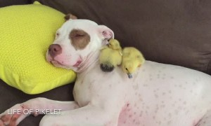 Rescue puppy adorably naps with foster ducklings