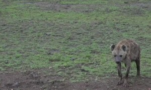 A Rare Close Encounter With a Hyena