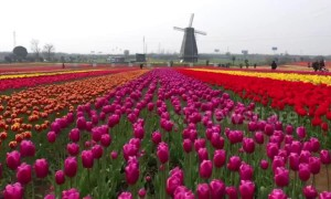 Spectacular drone footage shows colourful tulips blooming in eastern China