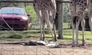 Mama Giraffe Gives Birth to Baby Boy