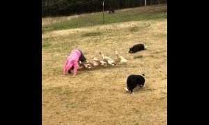 Homemade circus? Dogs teach flock of ducks how to perform tricks