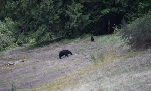 Bear with mysterious blue head caught on camera