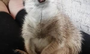 Meerkat is So Sleepy