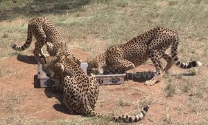 Extremely close footage of three captive male cheetahs feeding