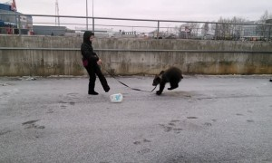 Bear has the best time while going for a walk in Russia