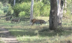 Huge Tiger Strolls Through Herd of Spotted Deer