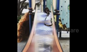 Otterly-adorable! Cuddly critter tries the slide for the first time