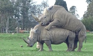 Mating rhinos shock visitors at UK wildlife park