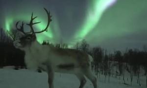 Reindeer amazingly poses under the Aurora Borealis