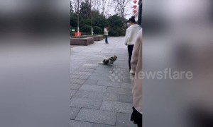 Stray dog pretends to be disabled to beg food from people