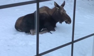 Moose Chills Outside Woman's Home