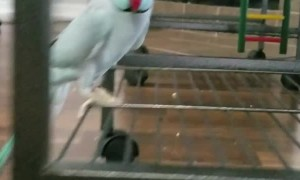 Talkative Parakeet Loves Giving Foot Kisses