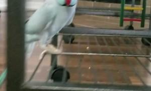 Talkative Parakeet Loves Giving Foot Kisses