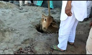 Cow pulled from 40-foot pit in India after 6-hour rescue