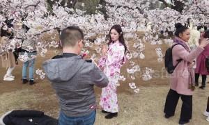 Beautiful scenes as sakura cherry blossom blooms in Tokyo park