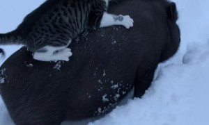 Hog Gives Cat a Ride Through the Snow