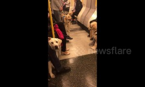 London Underground carriage filled with guide dogs on training day out