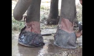 Wild elephant with injured feet given 'shoes' to let it walk back into the jungle