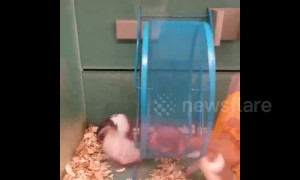 Ruthless hamster spins siblings around wheel at Canadian pet store