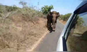 Wild elephant chases tourist car along rural road in south India