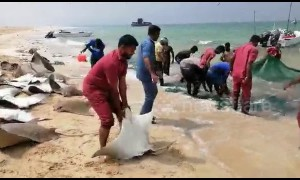 Outrage after Indian fishermen catch school of endangered stingrays