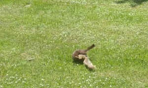 Squirrel and Mink Duke it Out in Park
