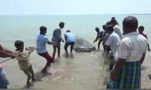 Endangered whale shark washes up dead in southern India