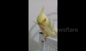 Cockatiel becomes confused when she drops her toothpick