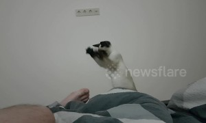 Siamese kitten 'casts spell' on owner's foot after smelling it