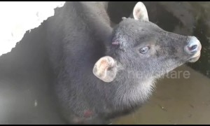 Indian officials flood water tank to rescue stranded bison calf