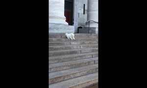 This fluffy Samoyed pup was very nervous going down some stairs