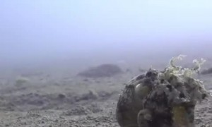 Coconut Octopus Takes a Stroll on the Ocean Floor