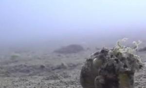 Coconut Octopus Takes a Stroll on the Ocean Floor