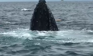 Whales Put on Show for Watching Tour Group