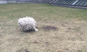 Mumford the Mop Dog