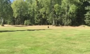 Friendly bear cub walks across golf course to greet golfer