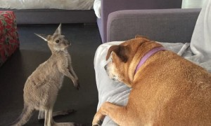 Kangaroo Joey Shows Dog Who's Boss