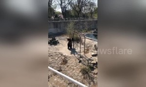 Lively brown bear dances against monkey bars in Chinese zoo