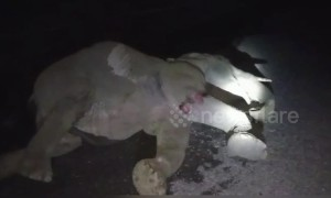 Young wild elephant injured after being hit by truck crossing road in northern India