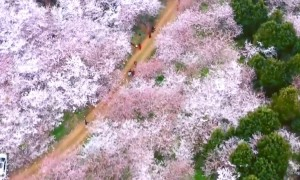 Incredible drone footage shows blooming cherry trees in China's Guizhou