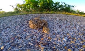Rattlesnake bites camera while being ushered out of road in Texas