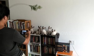 This is how you get six Siamese kittens to pose for a photo