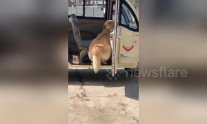 Timid golden retriever gets too scared to step out of three-wheeler